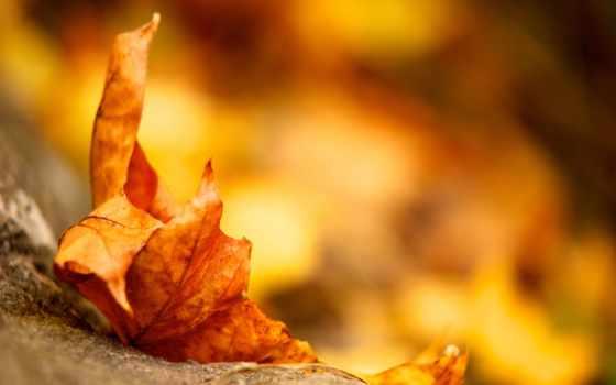 осень, лист, природа, листва, осенью, maple, телефон, картинку, everything,