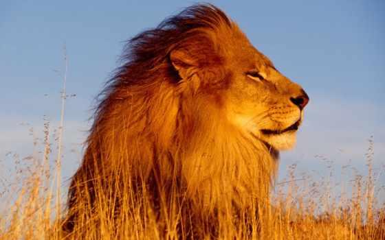 лев, львы, картинок
