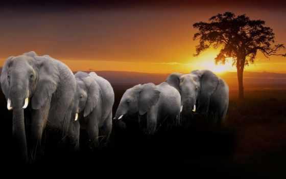 elephants, слон, купить