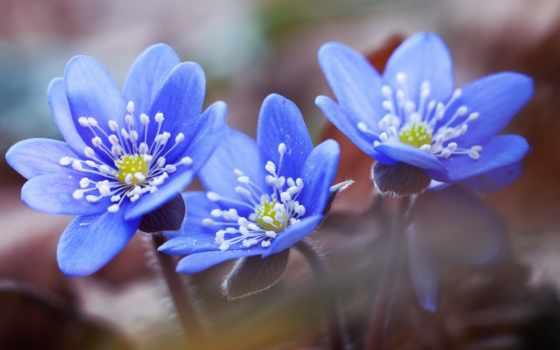 kwiaty, niebieskie, kwiat, pulpit, hepatica, fioletowy, zdjęcia, przylaszczki, stock, makro,