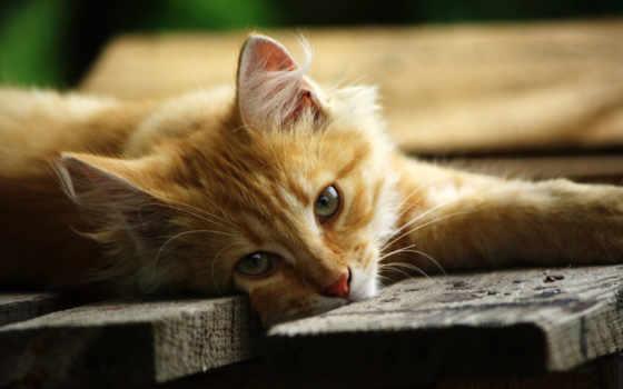 ,, кошка, усы, small to medium sized cats, фауна, cat like mammal, котенок, domestic short haired cat, морда, aegean cat, carnivoran, мейн-кун, персидская кошка, american bobtail, полосатый кот, Дикая кошка, лев, порода кошек