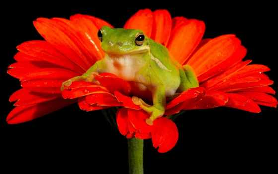 цветы, лягушка, картинка, лягушки, gerbera, природа,
