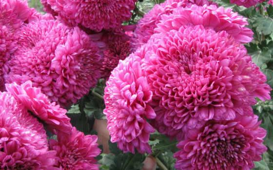цветы, dahlia, cvety, birthday, телефон, mobile, планшетный, ноутбук, mac