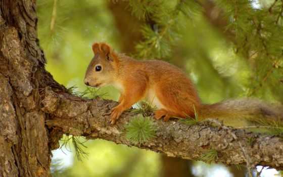 животные, сосна, squirrel