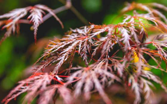 dissectum, acer, англия, acers, atropurpureum, award, листва, лиственный, малиновый, flowers, осень,