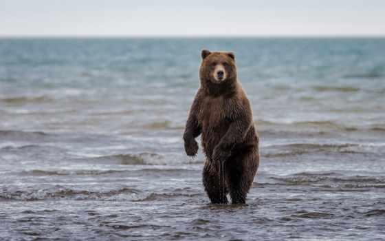 медведь, браун, медведи, zhivotnye, аляска, grizzly, фотообои, water, бурые, картинка,