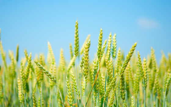 пшеницы, ukraine, пшеница, class, качества, высокого, цена, поле, озимой, семена, sale,