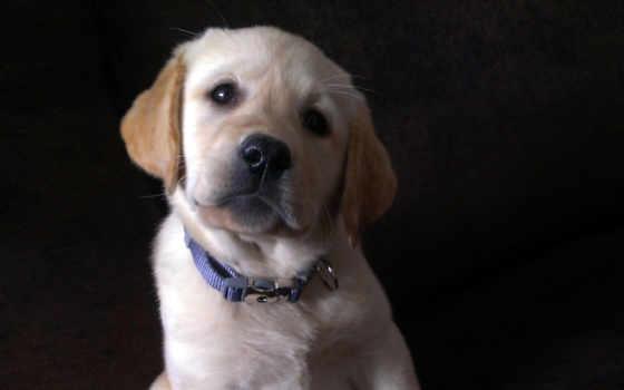 labrador, щенок, взгляд, aliexpress, мяч, comparison, товар, цен, друг,