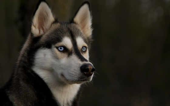 собака, хаски, взгляд, собаки, свет,