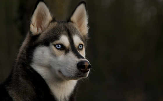 собака, хаски, взгляд