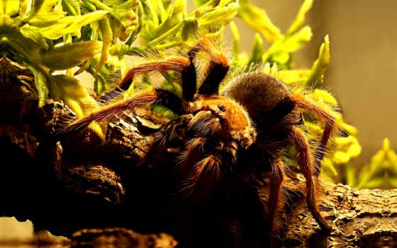 tarantula, high, free, пауки,