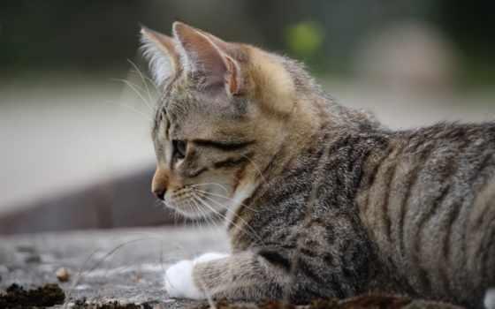 ,, кошка, млекопитающее, усы, small to medium-sized cats, felidae, european shorthair, полосатый кот, котенок,