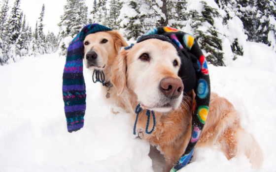 собаки, снег
