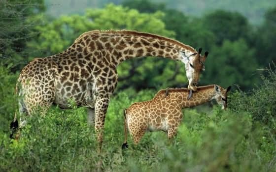 жираф, жирафы,