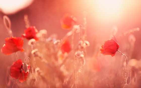 маки, поле, cvety, summer, sun, rays, бесплатные, свет,