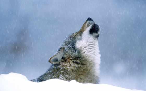 winter, волк, снег