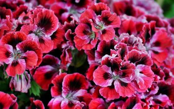 цветы, герань, красные цветы,