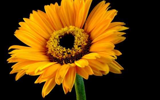 цветы, fone, картинка, черном, крупным, планом, орхидеи, ромашка, gerbera,