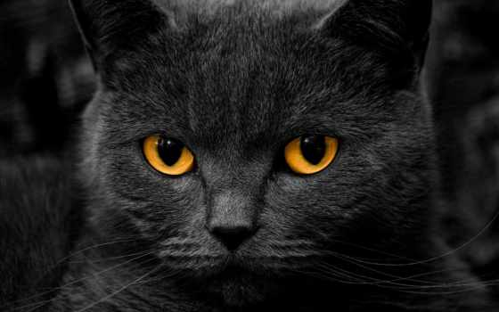 британец, кот
