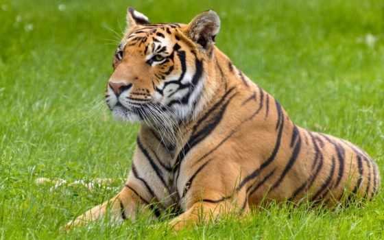 тигр, lying, биг, cats, down, трава, iphone,