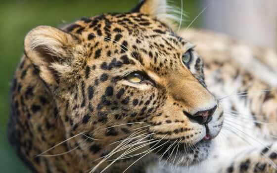 гора, хищник, леопард, дагестан, african, youtube, канал, animal