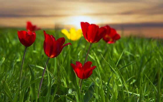 тюльпан, postcard, gullar, счастье, цветы, гуль, kalmykiya, трава, dnee