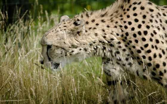леопард в траве
