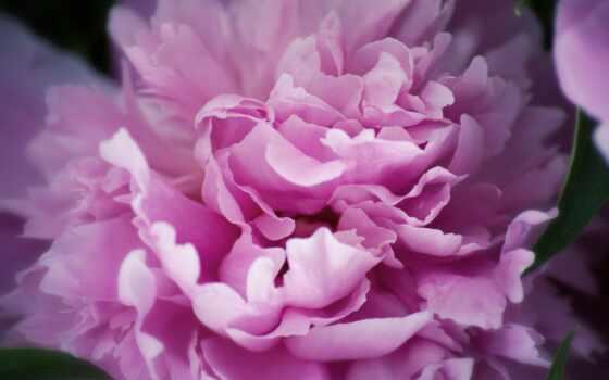 пион, розовый, лепестки