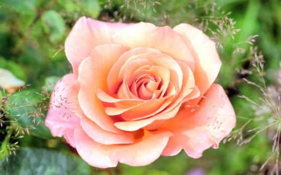 розы, широкоформатные, цветы