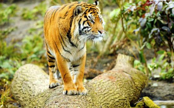 тигр, кот, tigers