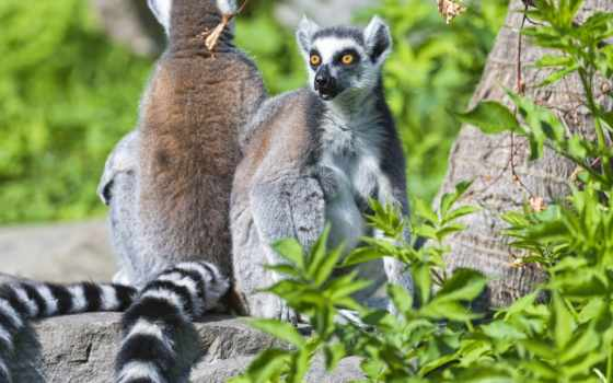 лемуры, zhivotnye, lemur, сидят, zoom, взгляд, два, кот, растровый, дизайна,