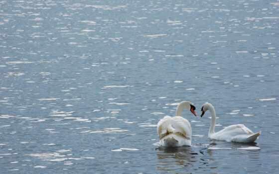 лебедь, птица, art, настроение, озеро, река, меломан, sexy, babe