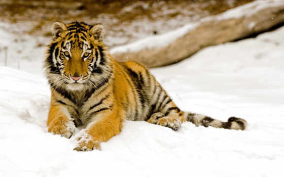 тигр, тигров, amur