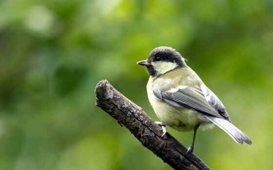 птичка, branch, ветке, птица, пушистик, макро, tit, titmouse,