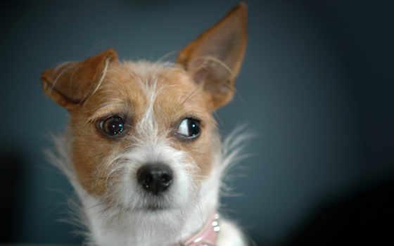 собака, полукровка, взгляд, красивый,