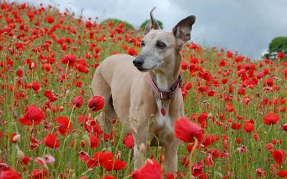 собаки, маки, zhivotnye, поле, собака, cvety, грейхаунд, природа,