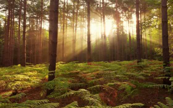 лес, pine, бор, rays, солнца, папоротник, коллекция, зелёный, sun, освещающие,