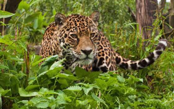 jaguar, ягуары, tropical, rainforest, animals,