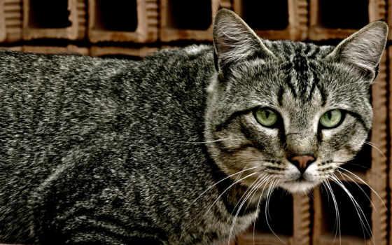 кот, зеленоглазый, кошки