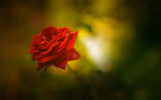 роза, взлёт, цветы, окно, garden, black