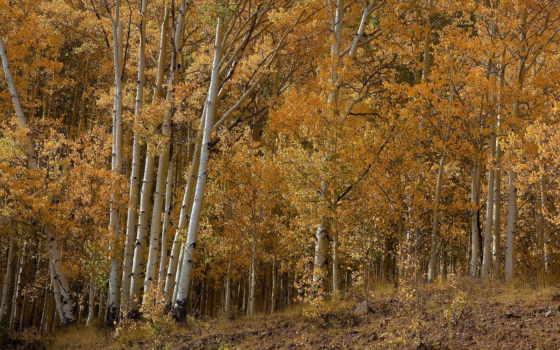 осень, березы, природа