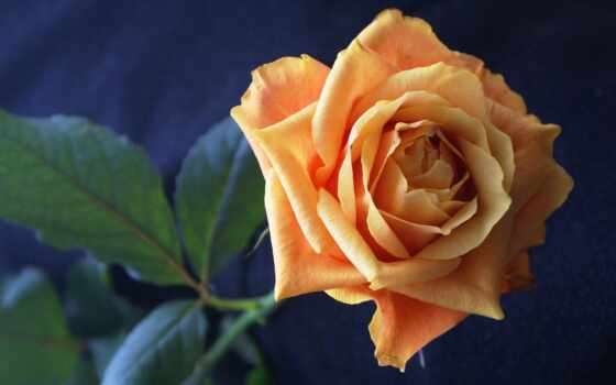 роза, цветы Фон № 56541 разрешение 1920x1200