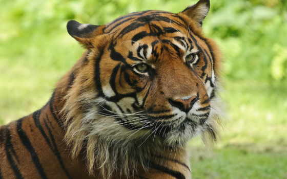 тигр, полосатая, морда, кот, удивленный, взгляд,