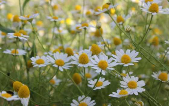 ромашки, цветы, summer