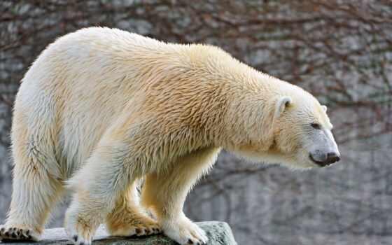 медведь, white, медведи, снег, камень,