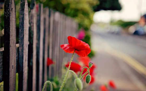 hoa, anh, cvety, tóc, hành, природа, poppy, забор, цветы,
