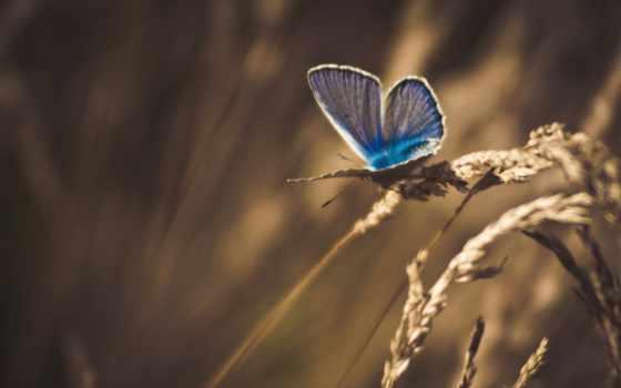 бабочка, макро, трава, колоски, сухая, обработка, насекомые, бабочки,