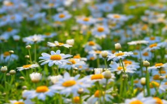 ромашки, поле, лето, радость, зелень
