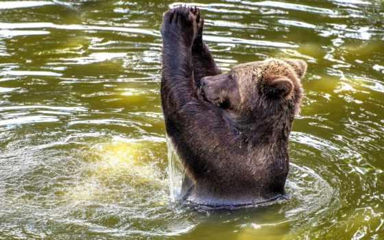медведь, воде, купается, медведи, браун,