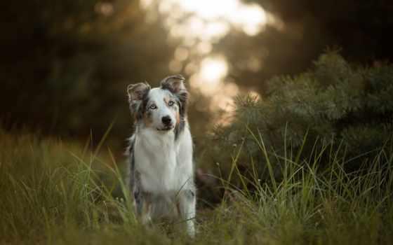 овчарка, австралийская, australian, собака, трава, aussies,